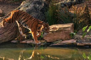 Big tale of two small Tiger reserves in Maharashtra